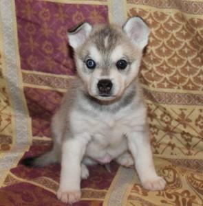 Alaskan Klee Kai Puppies for Sale in San Fran