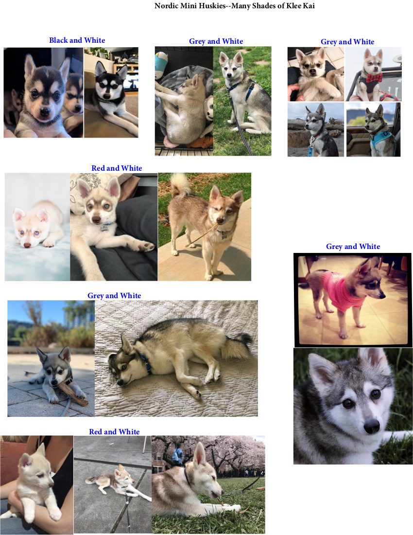 Many more colors of Klee Kai Dogs